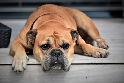 Un seguro veterinario para perros